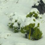 chou Kale sous la neige