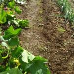La culture de courgettes et poireaux en butte