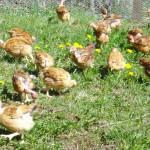 Poulets picorant dans la prairie