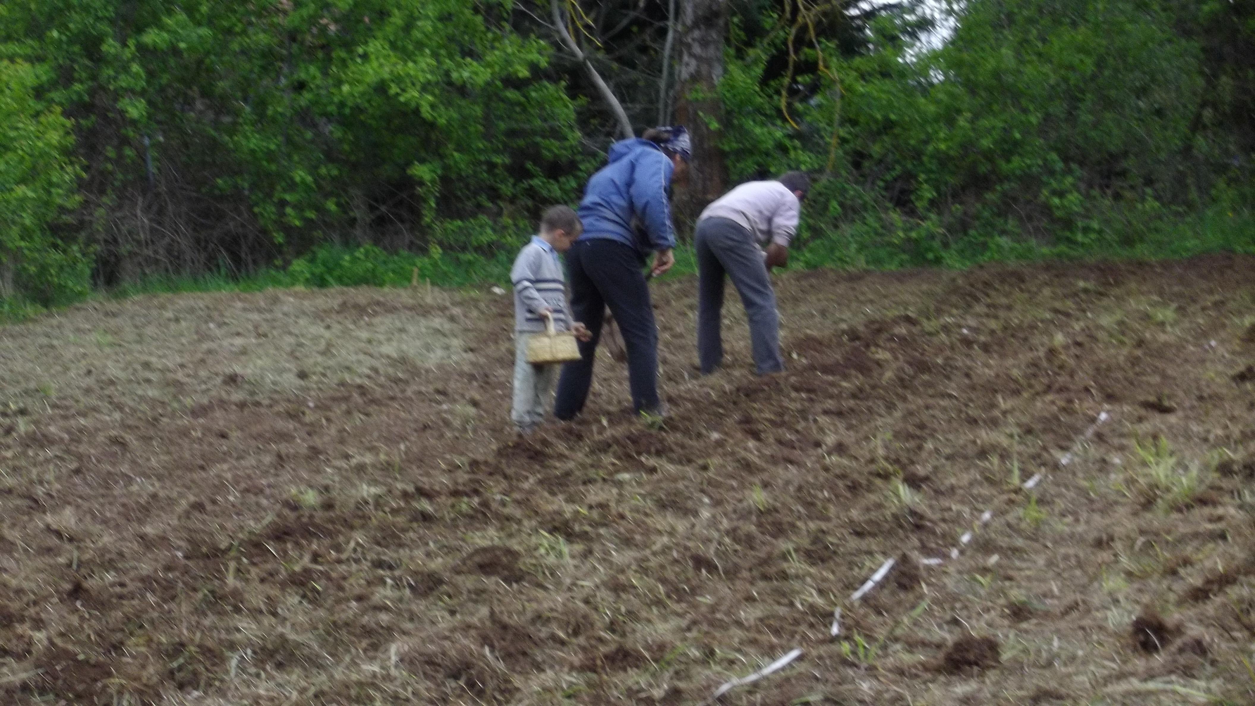 Planter des pomme de terre finest planter des pomme de terre with planter des pomme de terre a - Planter des pommes de terre ...