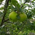 Pommes à venir...