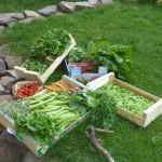 Premières récoltes de légumes à vendre àVailhac