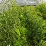 Tomates associées aux panais sous serre