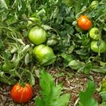 Tomates qui mûrissent